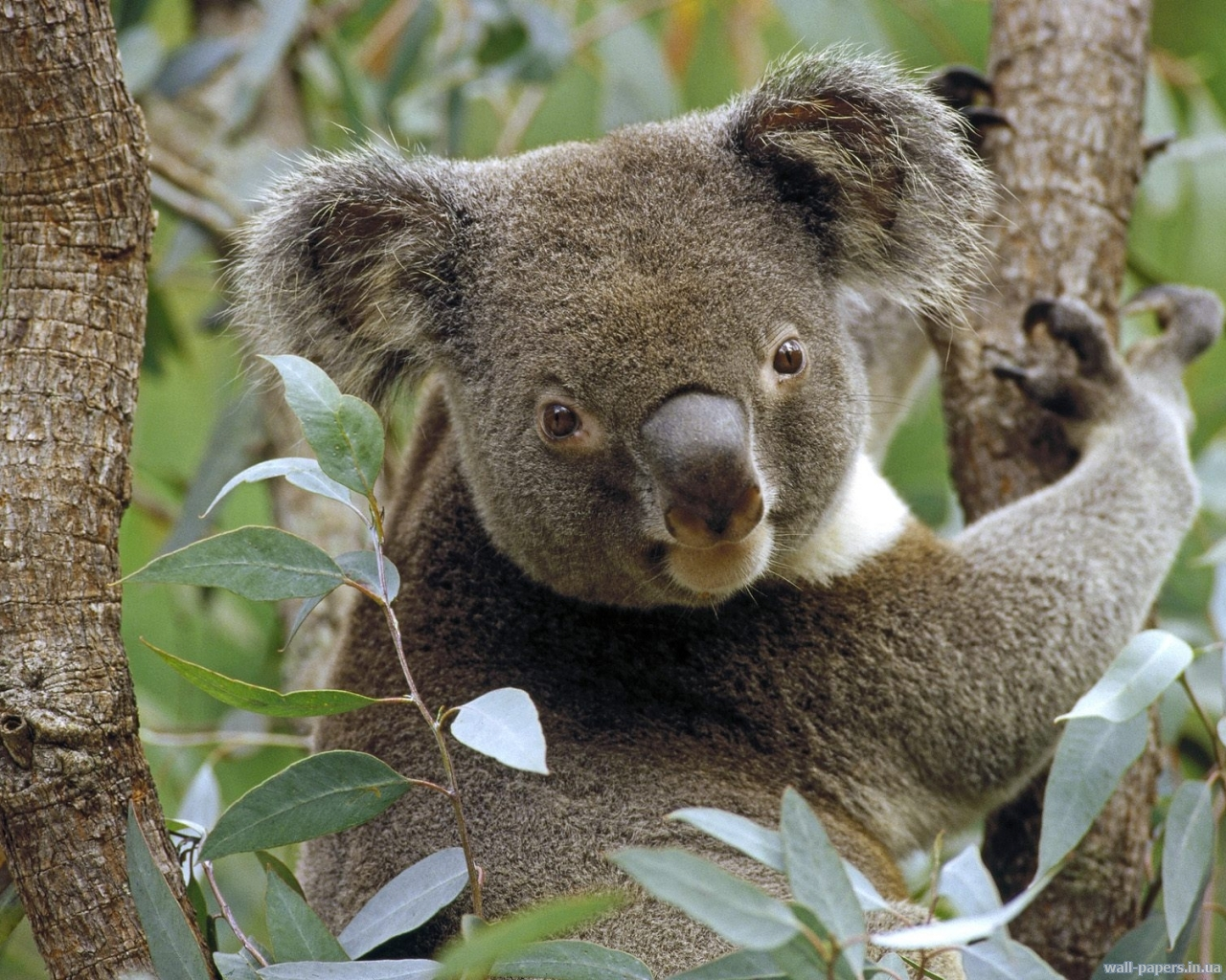 Сексуальные коалы картинки 16 фотография