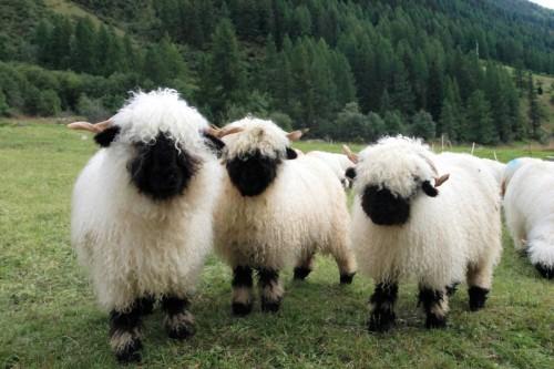Овца валаис2