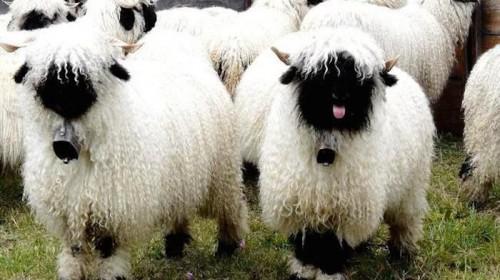Овца валаис3