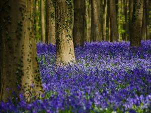 Синий лес2