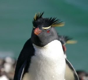Falkland_Islands_Penguins_80