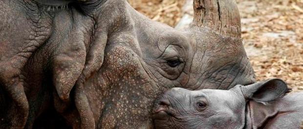 Зоопарк датской столицы пополнился новорожденным носорогом