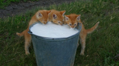 Три котенка и ведро молока, фото котят