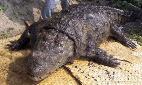 Столетний крокодил из в храма Хан Джахан Али