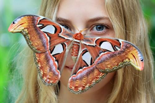 Самая красивая бабочка — «Павлиноглазка Атлас»
