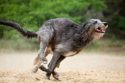 Охота Deerhound