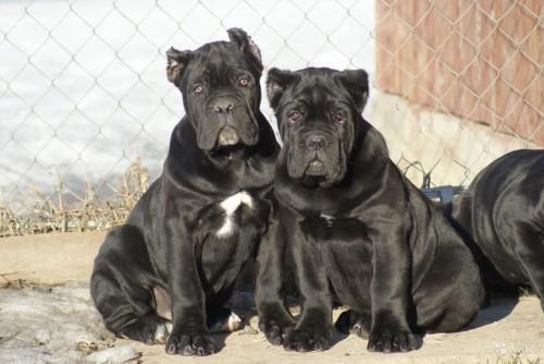 Самая крупная порода собак - Кане-Корсо