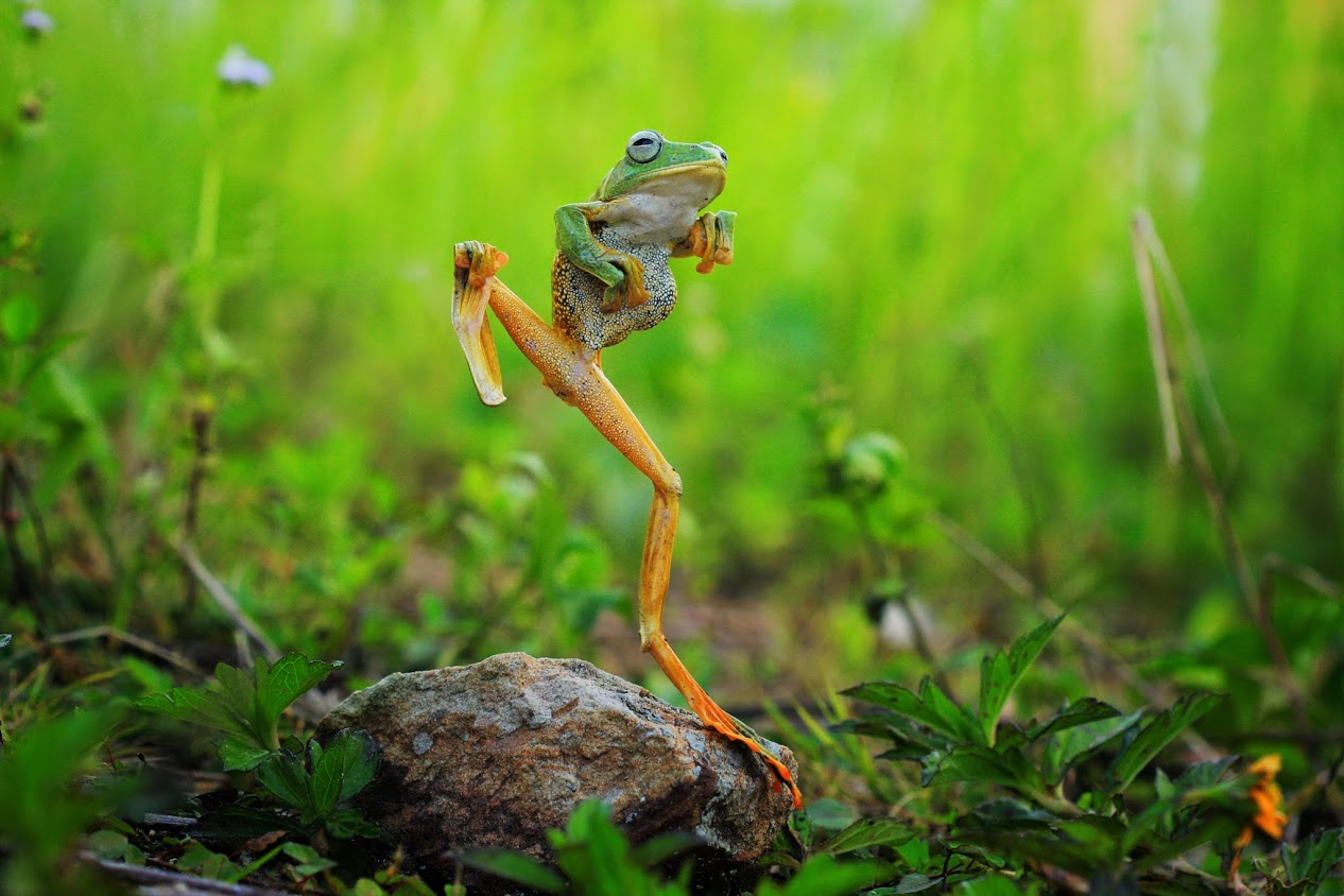 Лягушка-плясунья