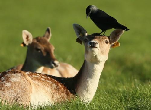 Просто хороший отдых ворона на голове у оленя