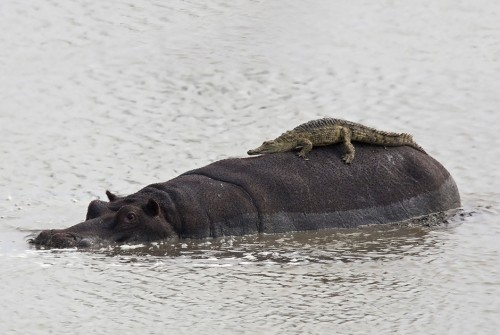 Детеныш-крокодила-на-спине-гиппопотама-в-ЮАР