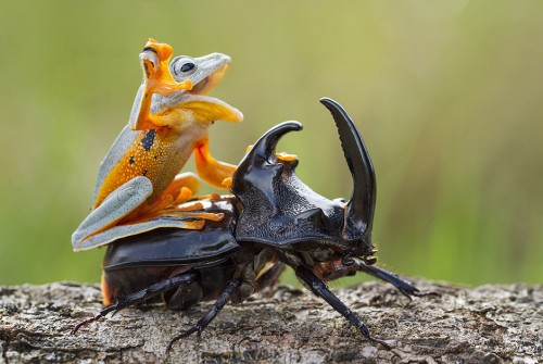 Лягушка на жуке носороге