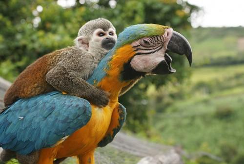 Картинка обезьянка и попугай АРА