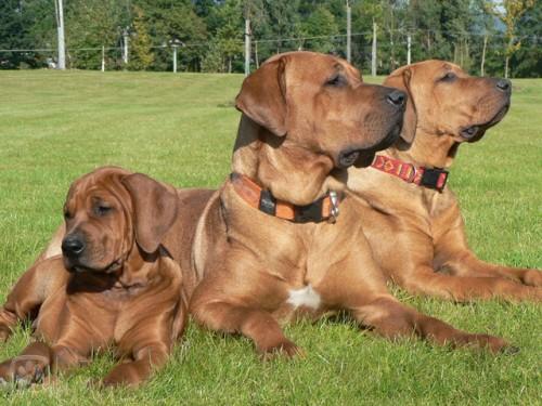 Тоса-ину порода японских крупных собак