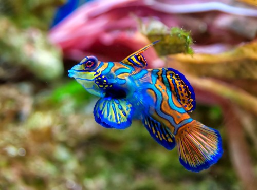 Рыба-мандаринка