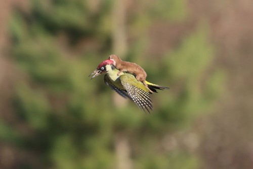 weasel-riding-woodpecker1