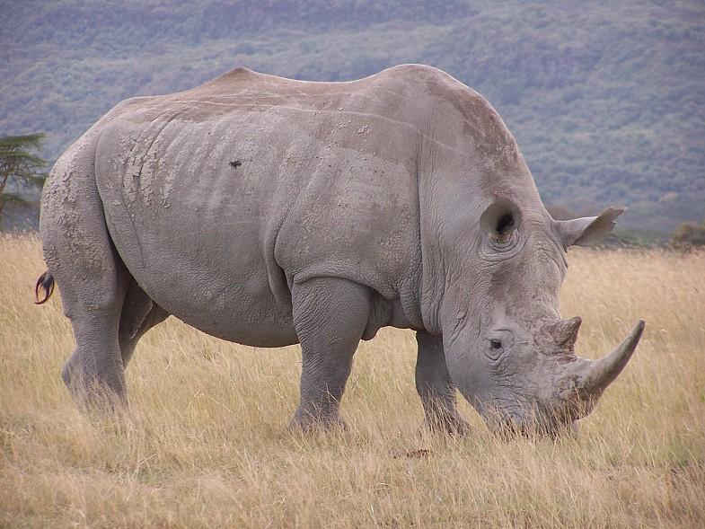 белый носорог вымер?