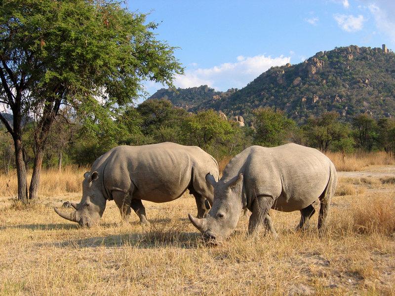 Вымирающий вид белого носорога