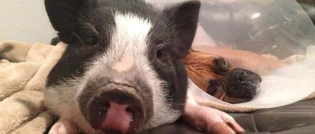 Смешное видео ворчливого свина покоряет YouTube