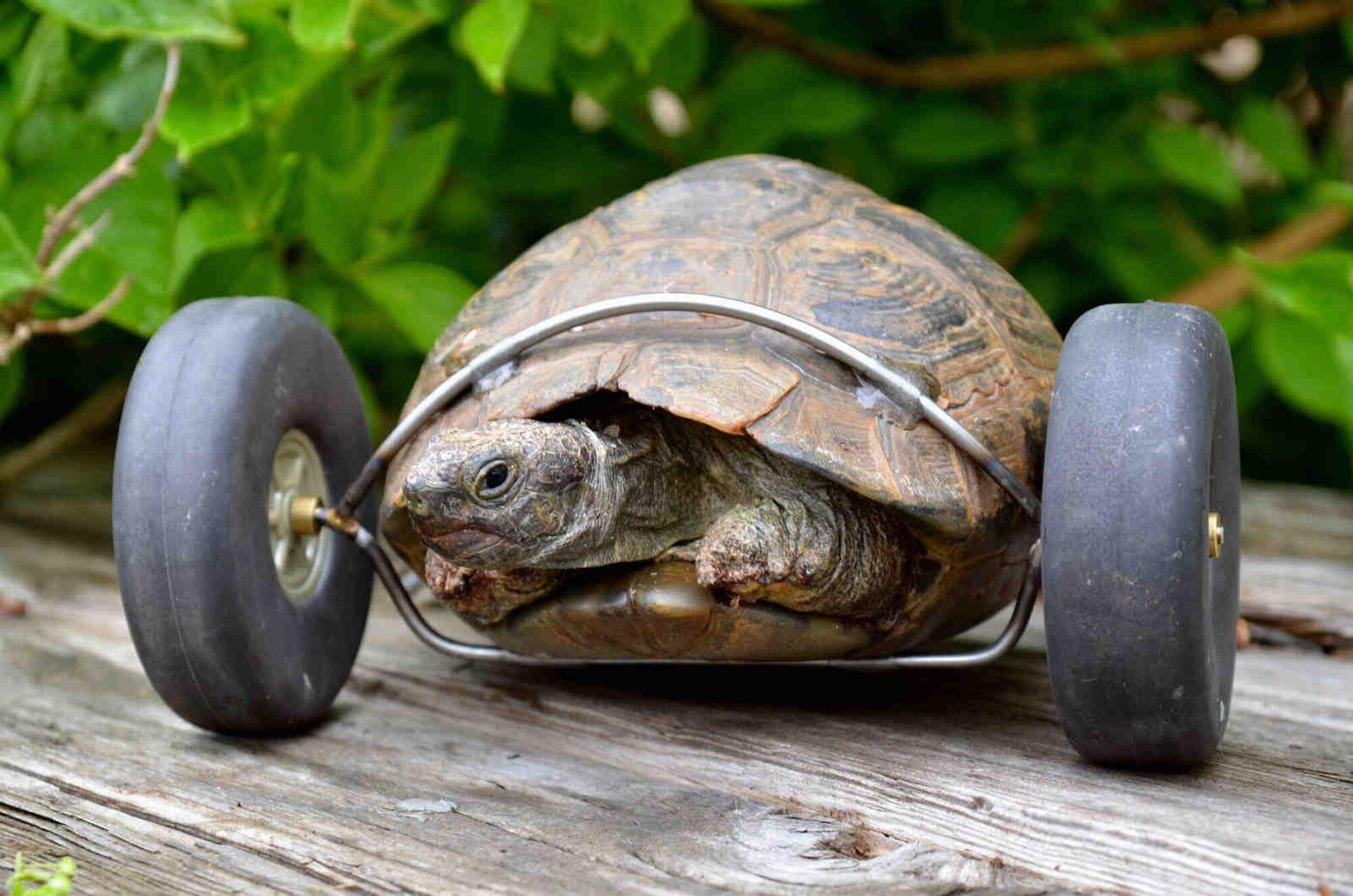Черепаху спасли, превратив ее в «авто»
