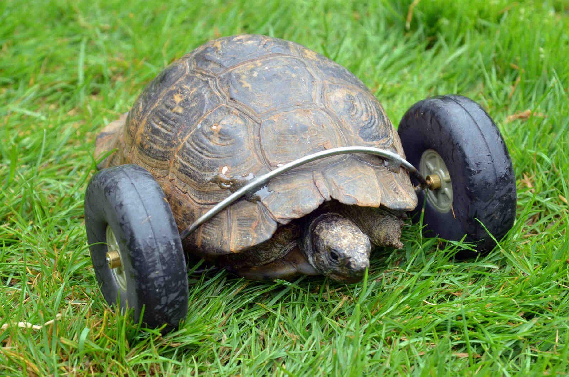 Необычная черепаха на колесах