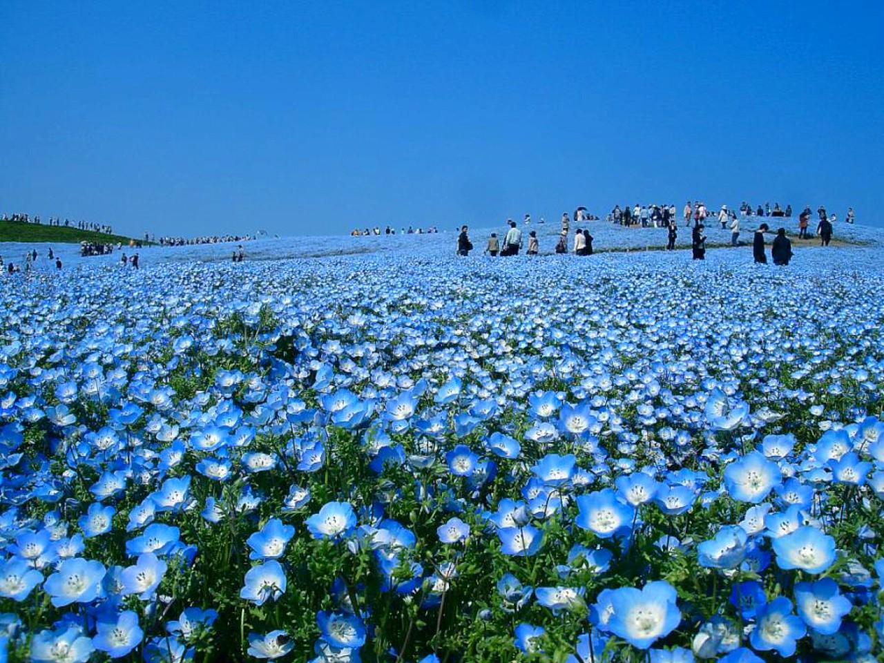 Голубой мак - уникальный цветок