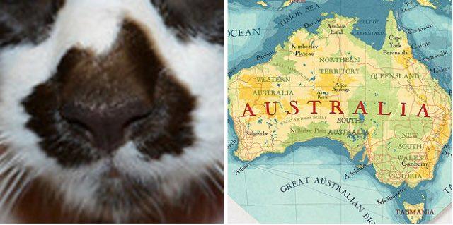 Карта Австралии на носу у кошки