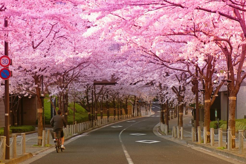 Во всем мире цветет и радует саккура