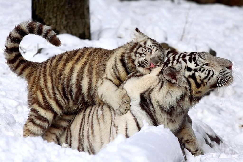 позитивные тигры