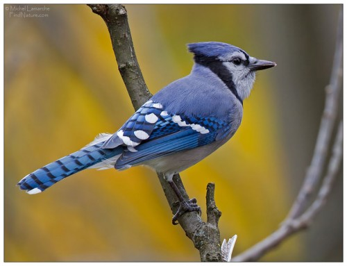 Голубая красавица птица - голубая сойка