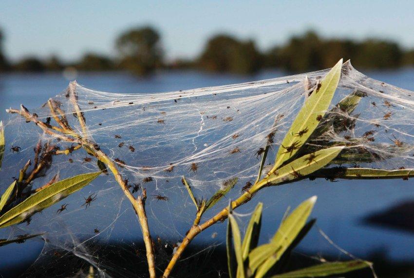 пауки оккупировали австралийскую деревушку