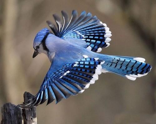 Позитивная птица мира Голубая сойка