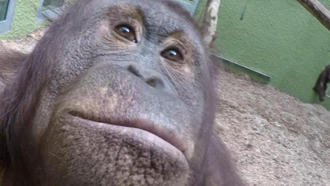 Забавное селфи орангутанга