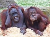 селфимания покорила орангутангов