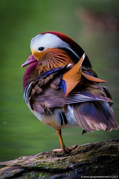 Самая красивая птица Мандаринка