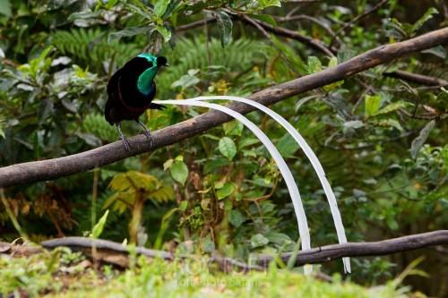 Ленточная райская птица - длиннохвостая красавица