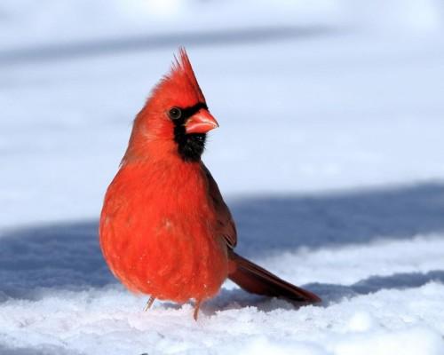 Cardinalis cardinalis01