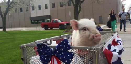 Giggles the Pig for Flint Mayor03