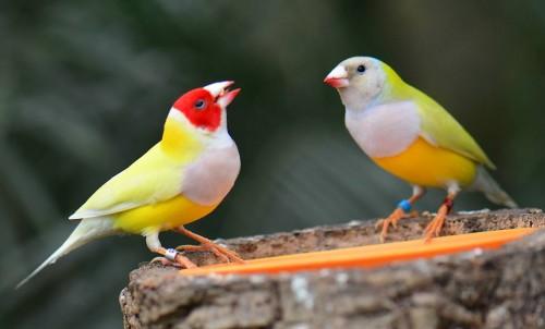 Гульдовая амадина - яркая и неповторимая птица