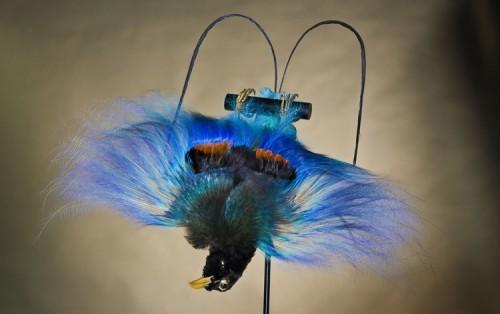 Голубая райская птица