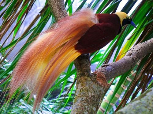 Райские птичка - самые красивые в мире