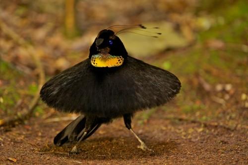 Шестиперая райская красивая птичка