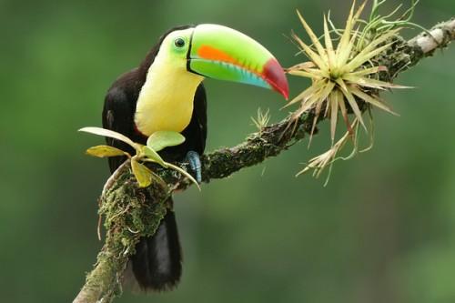 Птица Радужный Тукан - позитивная птичка с ярким клювом