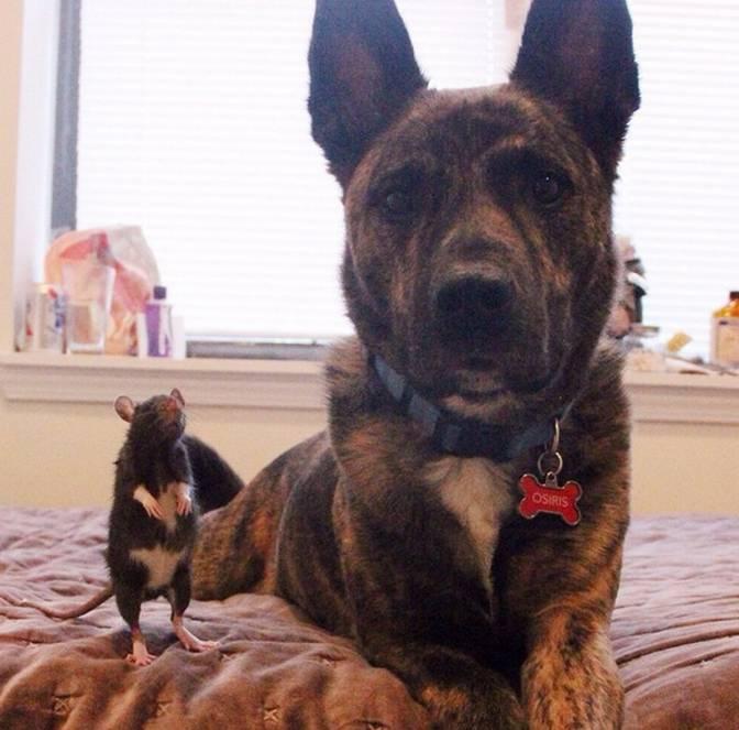 Дружба двух животных собаки и крысы