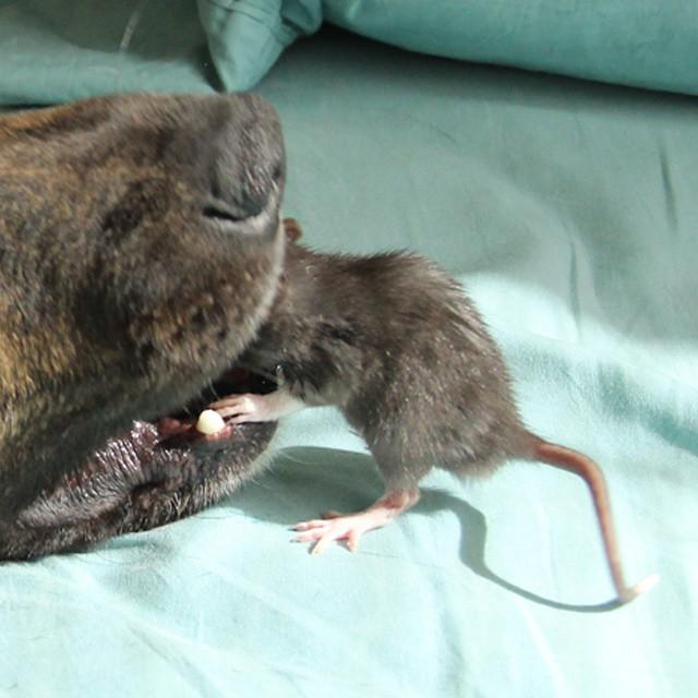 удивительные фото дружбы собаки и крысы