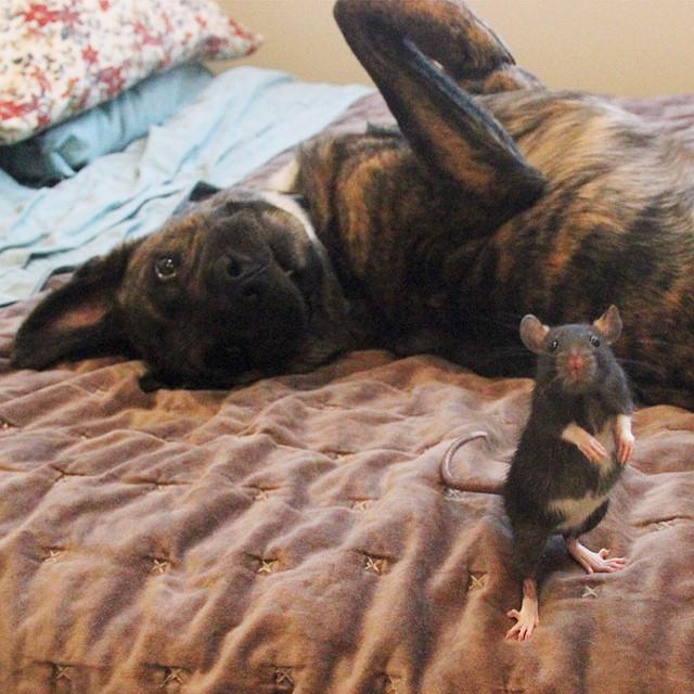 удивительная дружба собаки Осириса и крысы Риффа