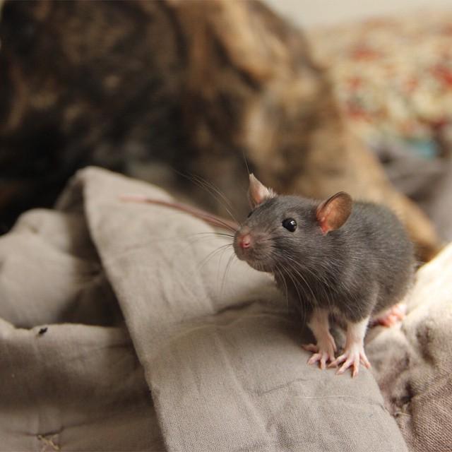 удивительное животное крысеныш Рифф