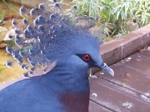 Красивая птичка Венценосный голубь