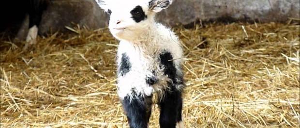 Жителей Нью-Йорка порадовал новорожденный «ягненок-панда»