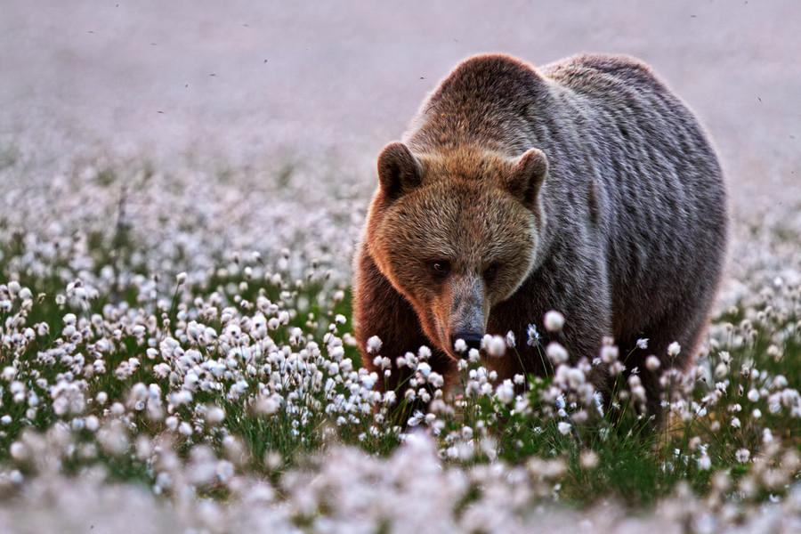 Медведь на поле цветов