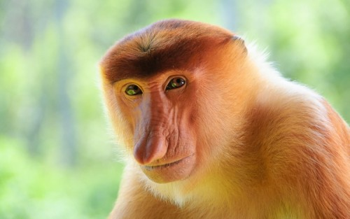 Удивительная обезьяна Носач